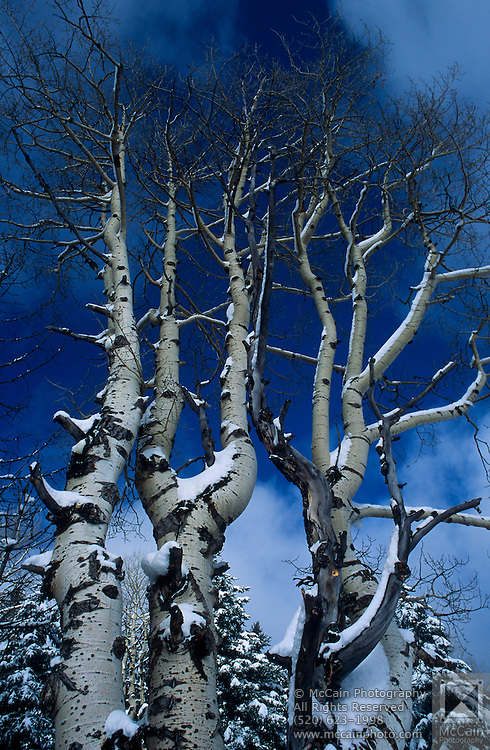 Snow on trees, North DeMotte Park Loop, North Rim Nordic Ctr., Grand Canyon National Park, Arizona..Media Usage:.Subject photograph(s) are copyrighted Edward McCain. All rights are reserved except those specifically granted by McCain Photography in writing...McCain Photography.211 S 4th Avenue.Tucson, AZ 85701-2103.(520) 623-1998.mobile: (520) 990-0999.fax: (520) 623-1190.http://www.mccainphoto.com.edward@mccainphoto.com.