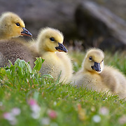 Canada goslings in early spring. Seattle.