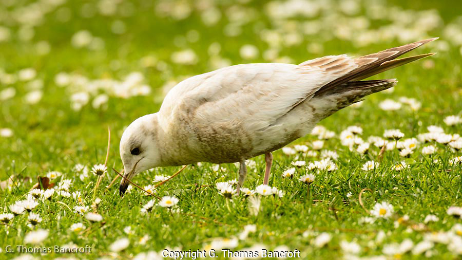 The young Mew Gull walked back and forth across the lawn searching for prey in the green grass
