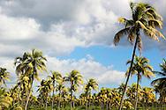 Palm trees at Portada de la Libertad, Granma, Cuba.