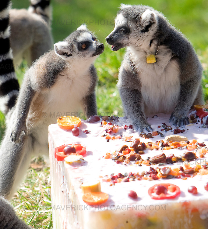 Ring-tailed lemurs join in the 100th birthday  celebrations at Edinburgh Zoo where they are presented  with a birthday cake made of their favourite treats. 18/03/09..Michael Hughes/Maverick Tel. 07789681770