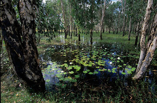 Kakadu National Park, Mamukala Wetlands. Australia.