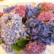 Hydrangea in purple, blue and pink<br />