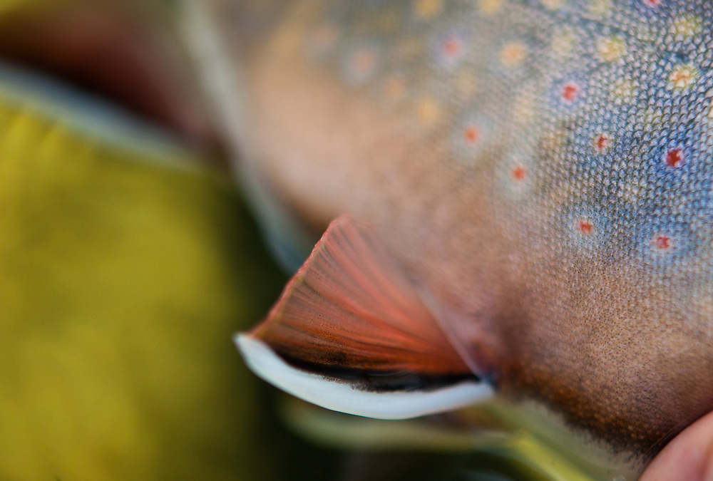 close up detail of brook trout caudal fin and scale patterns