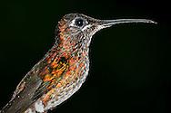 Alberto Carrera, Hummingbird, Maquipucuna Cloudforest Reserve, Ecuador, America
