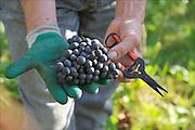 Nederland, Groesbeek, 3-10-2015 Bij de biologische wijngaard de Colonjes is men bezig met de druivenoogst van dit seizoen. Beschimmelde en aangetaste vruchten worden zoveel mogelijk weggeknipt. Kwaliteit gaat hier boven kwantiteit. Groesbeek afficheert zichzelf als het wijndorp van Nederland omdat er de kaarlijkse wijnfeesten zijn en verschillende boeren druiven verbouwen. De oogst lijkt goed en ook de gevreesde suzuki vlieg lijkt niet toegeslagen te hebben. Foto: Flip Franssen