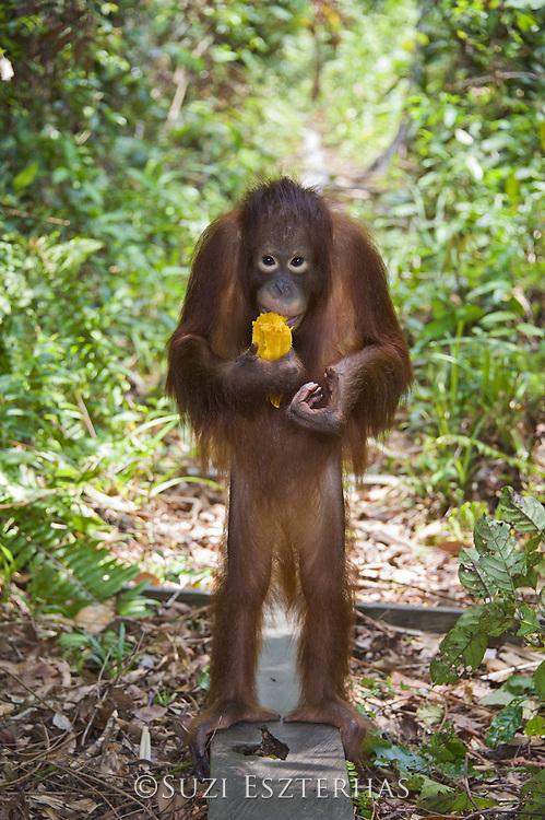 Bornean Orangutan<br /> Pongo pygmaeus<br /> Juvenile (approx. 5 years old) eating fruit during forest exploration and training program<br /> Orangutan Care Center, Borneo, Indonesia