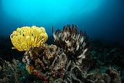 Crinoid or Feather Star (Comantheria briareus) and (Oxycomanthus bennetti) Raja Ampat, West Papua, Indonesia, Pacific Ocean | Haarsterne (Comantheria briareus) und (Oxycomanthus bennetti) gehören zum Stamm der Stachelhäuter (Echinodermata) und sind damit verwandt mit Seeigeln und Seesternen. Sie fangen mit ihren Armen nach kleinen schwebenden Orgsanismen im Wasser.