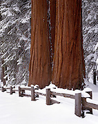 Winter, Snow, Giant Forest, Meadow, Sequoia Trees, Sequoia Tree, Sequoia, Sequoia Grove, Sequoia and Kings Canyon National Park, California