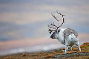 During a visit in Longyearbyen, Spitzbergen September 2013, I found this Reindeer in Adventsdalen. Since it stopped to pee, it seems like it did not payed too much attention to me | Jeg tok dette bildet av Svalbardrein i Adventsdalen, Longyearbyen under et besøk på Svalbard September 2013. Siden den tok seg tid til å stoppe for å tisse, så virker det som den ikke brydde seg så mye om meg.