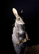 The Power of Poison <br /> The Exhibition <br /> at The Old Truman Brewery, Brick Lane, London, Great Britain <br /> 14th May 2015 <br /> <br /> curated by American Museum & Natural History <br /> <br /> A rabbit offers a man a poisonous root bring death to the world <br />  <br /> Discover the alluring, seductive and terrifying role of poisons and how they affect our everyday lives through nature, myth, medicine and healing<br />  <br /> Come face to face with the world's most dangerous animals in a tropical rainforest<br />  <br /> Turn forensic detective and use clues to solve famous poisonings<br />  <br /> Wicked witches. Scheming spouses. Murderous rulers dispatching their rivals. The poisons they used were invisible, secret, deadly; their stories run like a dark thread through the tapestry of myth and history in every culture, every age. Such is the power of poison to grip the imagination.<br />  <br /> But poison has another face. In the natural world, poisons are powerful weapons, made and used by innumerable organisms in the struggle to survive and reproduce. And as scientists probe the secrets of poison, we're finding these substances—endlessly shaped by natural selection—to be powerful forces for healing.<br /> <br /> <br /> Photograph by Elliott Franks <br /> Image licensed to Elliott Franks Photography Services