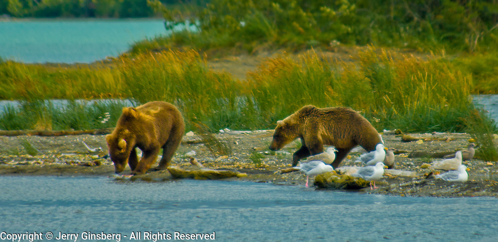 North America, United States, Northwest, Pacific Northwest, West, Alaska, Katmai, Katmai National Park, Brooks River, Grizzly bear, brown bear. Alaskan brown bear (grizzly) junction of at the salmon-rich Brooks River and Naknek Lake, Katmai National Park, Alaska.
