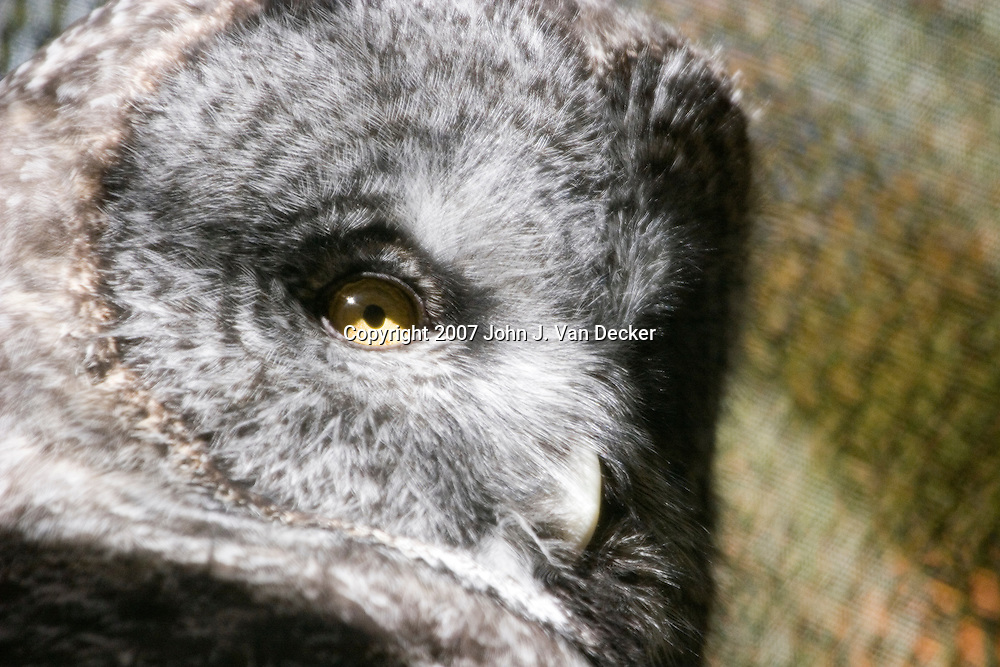 Great Gray Owl, Strix nebulosa , close up of face......Photo taken at The Raptor Trust, one of the premier, privately funded wild bird rehabilitation centers in the United States. The Raptor trust is recognized as a national leader in the fields of raptor conservation and avian rehabilitation. raptors, birds