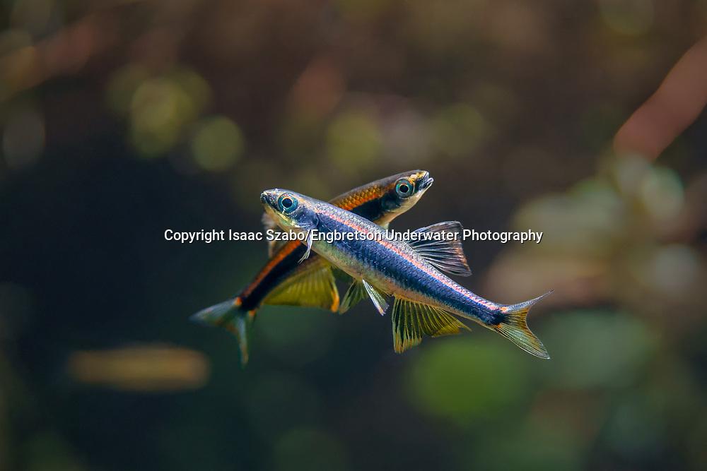 Metallic Shiner<br /> <br /> Isaac Szabo/Engbretson Underwater Photography