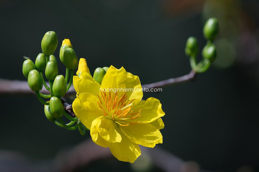 Vietnam Images-Flower-Apricot-New year Hoa mai vàng -Hoàng thế Nhiệm