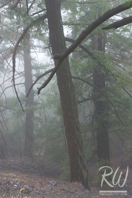Foggy Trees in Forest, San Gabriel Mountains, California