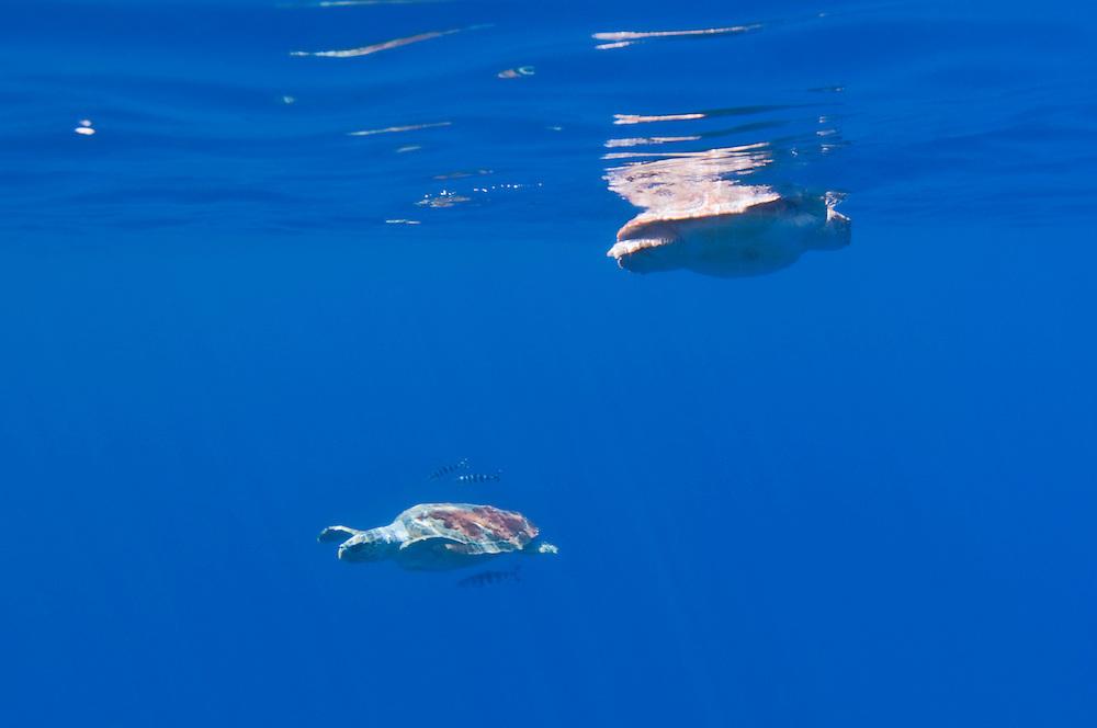 Turtle highway(1), Loggerhead turtle, Caretta caretta, Pico, Azores, Portugal