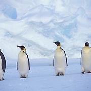 Emperor Penguin, (Aptenodytes forsteri) Adults Riiser Larsen ice shelf. Antarctica.