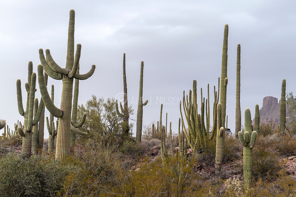 Group of Saguaro cacti of various sizes and ages in Organ Pipe Cactus National Monument, southern Arizona.