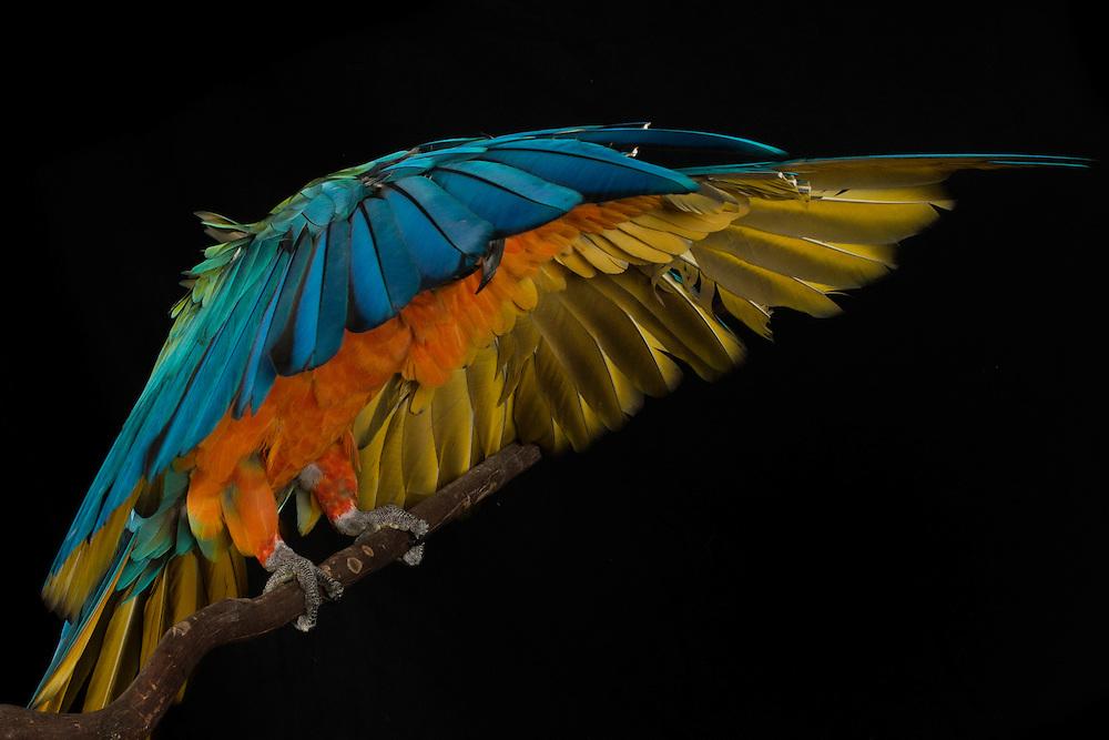 Catalina Macaw, captive, credit: Pandemonium Aviaries/M.D.Kern