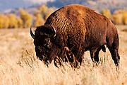USA, Grand Teton National Park (WY)<br /> Bison (Bison bison) at Antelope Falls