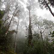 Misty oak forest. Trail to the top of Chirripo Mountain in Chirripo National Park, Costa Rica. Chirripo is the highest mountain in Costa Rica.
