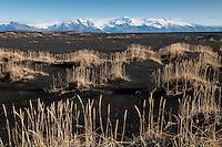 Lime grass at Skeidaararsandur. Oraefajokull Glacier and Hvannadalshnjukur, Icelands highest peak in background. Melgresi á Skeiðarársandi, Öræfajökull og Hvannadalshnjúkur í baksýn.