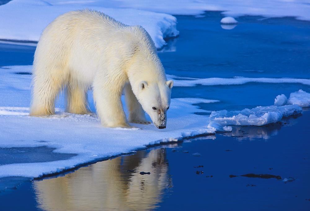 Polar Bear (Ursus maritimus) Svalbard