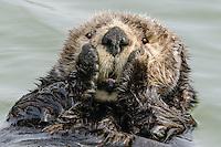 Sea otter (Enhydra lutris kenyoni) cleaning its fur