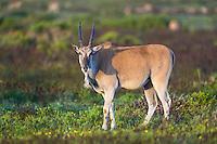 Eland Cow, De Hoop Nature Reserve, Western Cape, South Africa