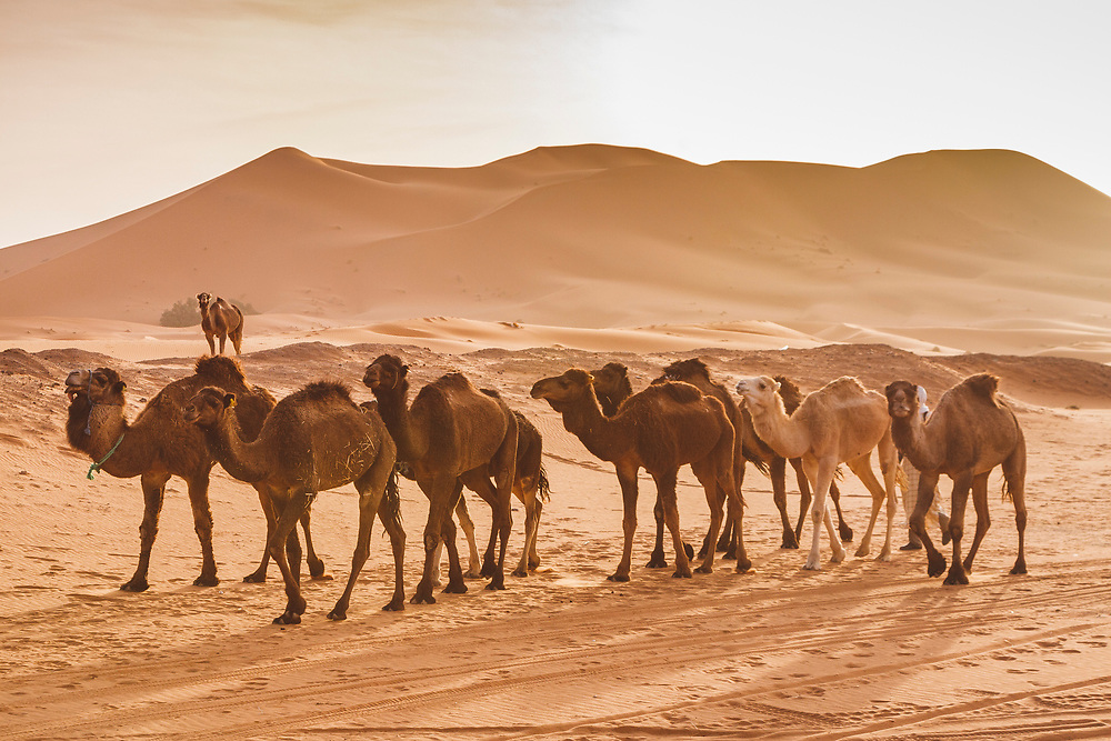 Camels waiting by the dunes