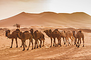 Ships of the desert. A train of camels waiting by the great dunes of Erg Chebbi near the town of Merzouga on the Morocco / Algeria border.