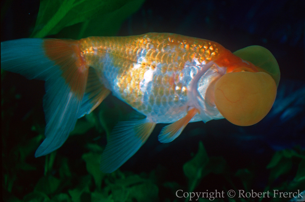 AQUACULTURE Exotic Bubble Eyed Goldfish from Japan