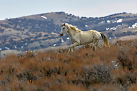 Wild horse - Mustang-  (equus caballus), Sand Wash Basin, Colorado, USA   Photo: Peter Llewellyn