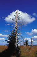 BEL, Belgium, high-moor Hohes Venn, dead spruce ....BEL, Belgien, Hochmoor Hohes Venn, abgestorbene Fichte........