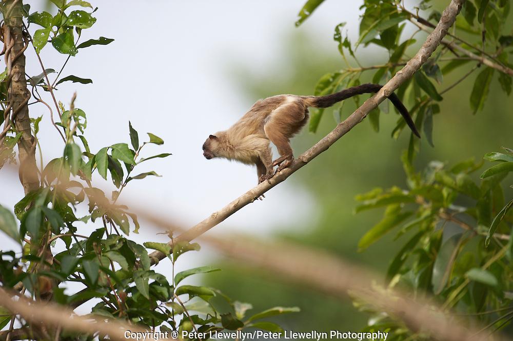 Black-tailed Marmoset (Mico melanura),  The Pantanal, Mato Grosso, Brazil