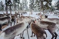 Reindeer feeding in the coral at Nutti Sámi Siida, sledding, and Sami culture