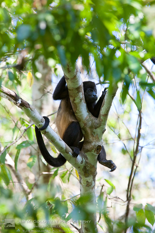 A Common Mantled Howler Monkey (Alouatta palliata) rests in the shade of the Costa Rican rainforest during mid-day heat.