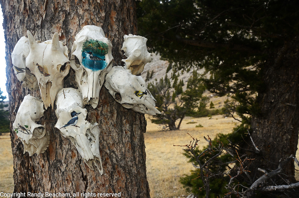 An assortment of animal skulls with wild birds painted on the skulls in Wagner Basin. Sun River Canyon in the Rocky Mountain Front west of Augusta, Montana.