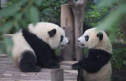 CHENGDU, Sept. 7, 2016 (Xinhua) -- Photo taken on Sept. 7, 2016 shows two giant pandas in Chengdu Research Base of Giant Panda Breeding in Chengdu, southwest China's Sichuan Province. A Chinese giant panda expert said on Tuesday that it is too early to downgrade the conservation status of the species after the International Union for Conservation of Nature (IUCN) took the species off its endangered list on Sunday. The IUCN said in a report that the panda is now classified as ''vulnerable'' instead of ''endangered,'' reflecting growing numbers in the wild in southern China. The union attributed the increase in population to decades of dedicated conservation efforts in China. (Xinhua/Xue Yubin) (wx) (Credit Image: © Xue Yubin/Xinhua via ZUMA Wire)