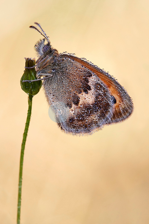 Small Heath (Coenonympha pamphilus) covered by morning dew upon a flower on a meadow. Serra do Cando, Cerdedo, Pontevedra, Galicia, Spain, Europe. ©Siro Moya / PILAR REVILLA