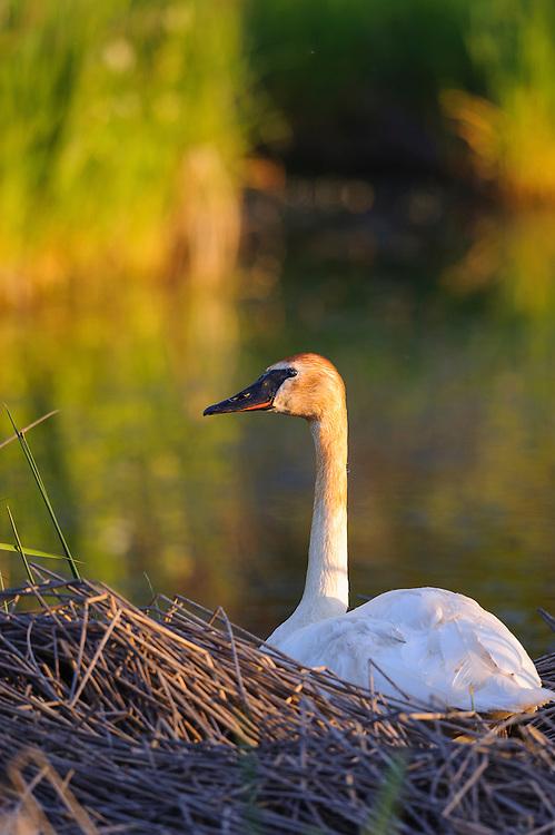 Nesting Trumpeter Swan, Western Montana