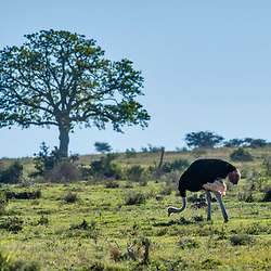 Avestruz (Struthio camelus) fotografado na África do Sul. Registro feito em 2019.<br /> ⠀<br /> ⠀<br /> <br /> <br /> <br /> <br /> ENGLISH: Common Ostrich photographed in South Africa. Picture made in 2019.