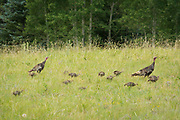 Wild turkeys and their chicks wandering through the grassy meadows along highway 67 between Jacob Lake and the North Rim of Grand Canyon National Park.