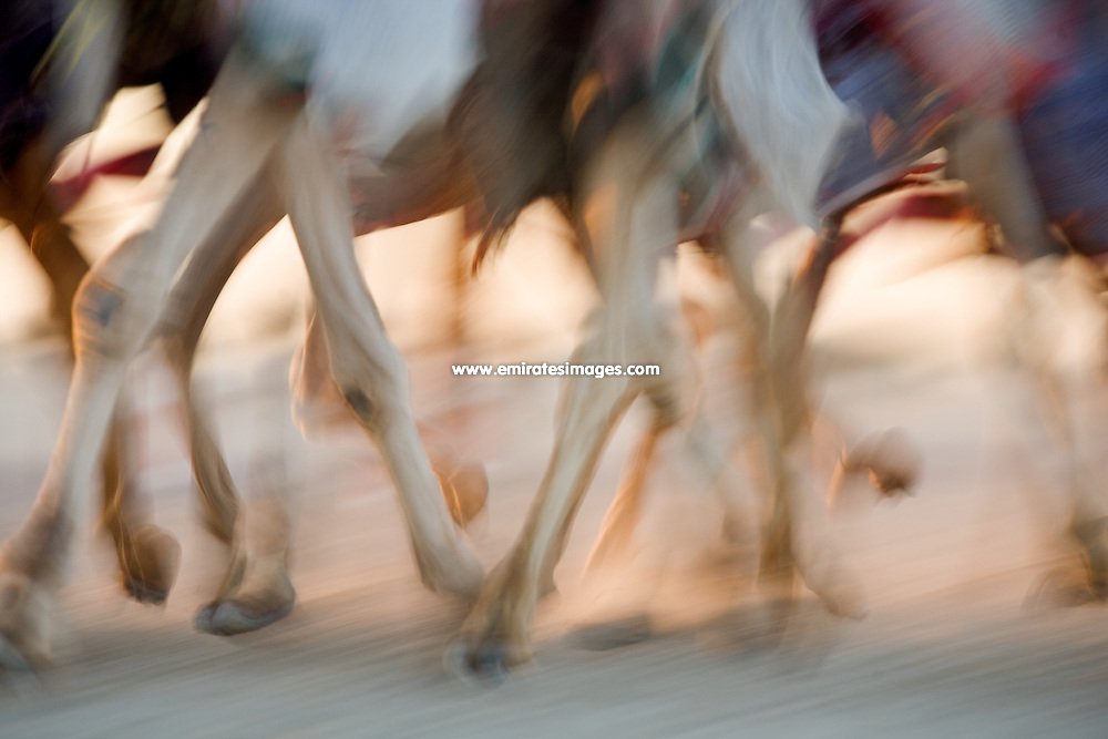 Camel racing and training in Dubai, close up of camels