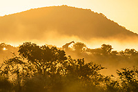 Giraffe in the bushveld at dawn with a light mist, Hluhluwe-iMfolozi Game Reserve, KwaZulu Natal, South Africa