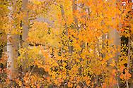 Aspen Trees at North Lake, Eastern Sierra, California