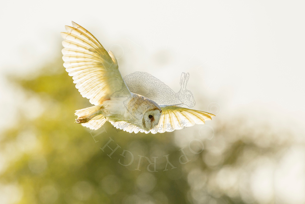 Barn Owl (Tyto alba) adult, in flight, hunting, South  Norfolk, UK. August.