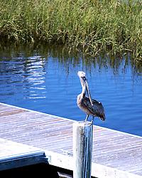 Pelican Enjoys Perch in the Sun