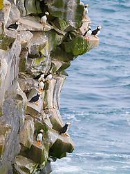 Horned puffins, Fratercula corniculata, on cliff, St Paul Island, Alaska.